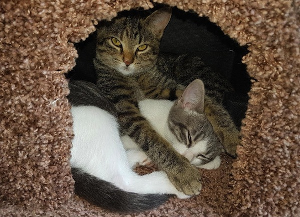 Mattie and Nokimos - kittens for adoption. Durham Region, Toronto GTA