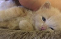 Rigel. Adopt a kitten. Toronto GTA Durham Region