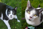 Tuxedo and Jasper. Senior Cats In Need Of Loving Foster/Perm Home