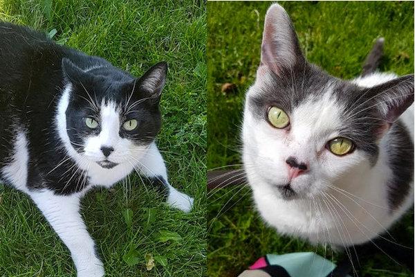 Cats for adoption. Tuxedo and Jasper. Toronto GTA Durham Region