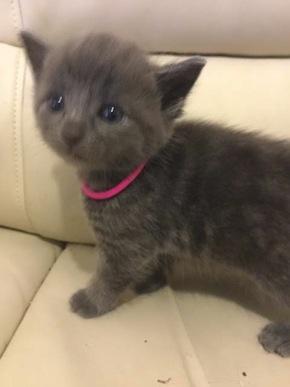 Wolf. Kitten for adoption. Toronto GTA Durham Region