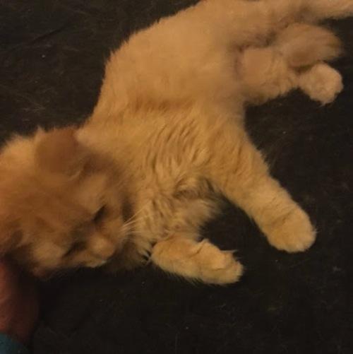 Sweetie. Cat for adoption.
