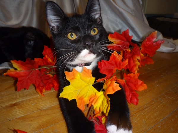 Kittens for adoption. Toronto GTA, Durham Region