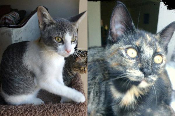 kittens for adoption. durham region toronto gta