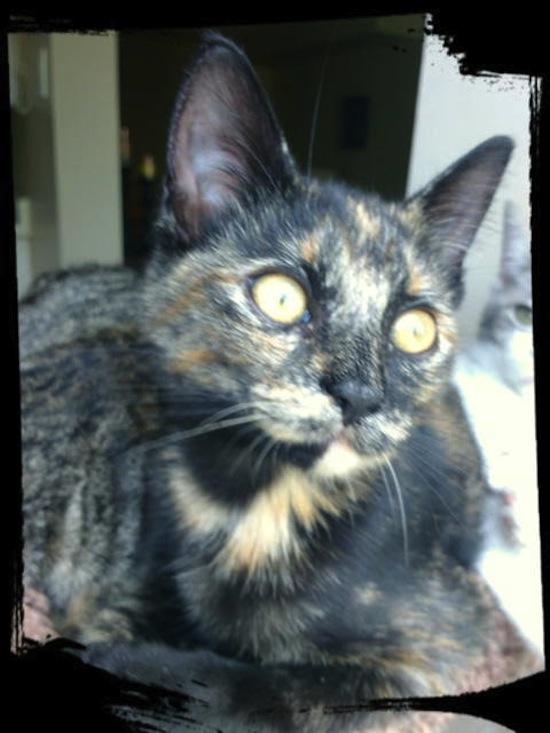 Quacey. Rescue kitten for adoption. Durham Region, Toronto GTA
