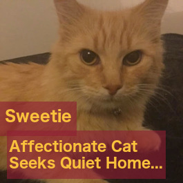 Sweetie. Gentle Cat Seeks Quiet Home