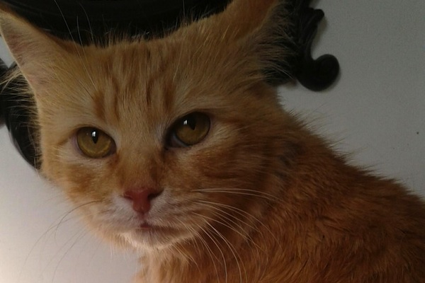 Sweetie. Cat for adoption. toronto, gta, durham region
