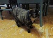 Bou. Stunning, Friendly, Female Cat Seeking New Home