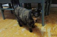 Bou. Female cat needs new home. Toronto GTA Durham Region