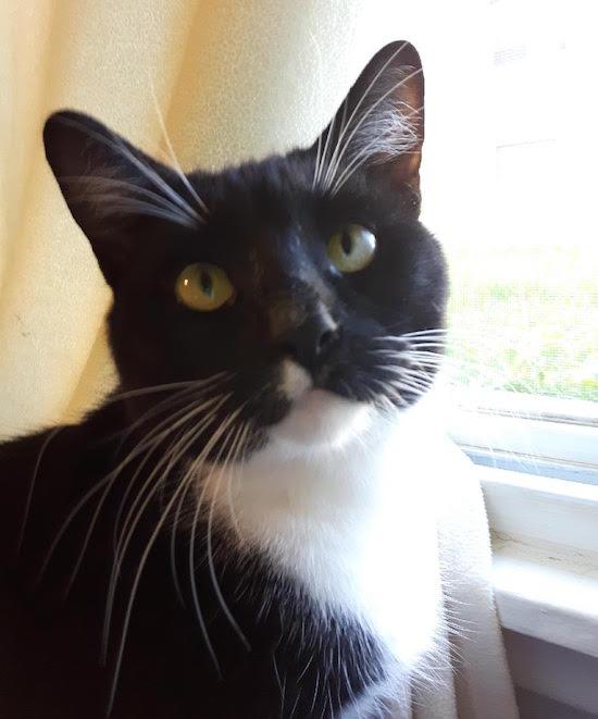 Donna. Cat for adoption. Durham Region Toronto GTA