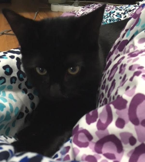 Gin. Rescue kitten for adoption.