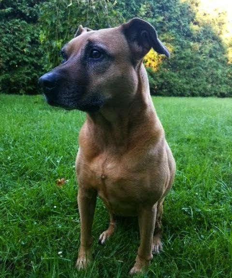 Rain. Female dog needs new home