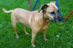 Rain. Beloved Female Dog Urgently Requires Foster/Perm Home