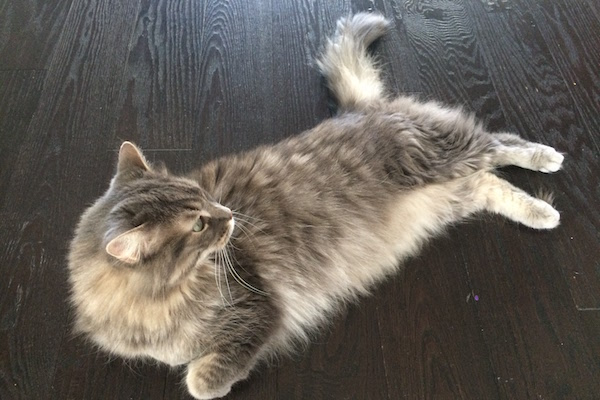 Catherine. Cat seeking new home, GTA Toronto Durham Region pet rehoming