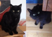 Mr Spock And Tribble. Elderly Owner Must Rehome Beloved Cats