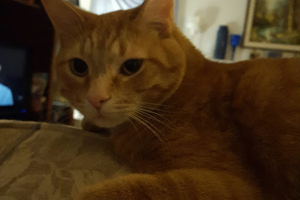 Ginger. Cat for adoption. Toronto GTA Durham Region