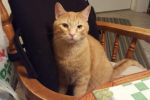 Ginger. Two Year Old, Friendly Cat Finds New Home