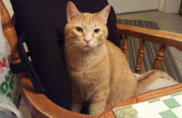 Ginger. Cat for adoption. Toronto GTA Durham Region