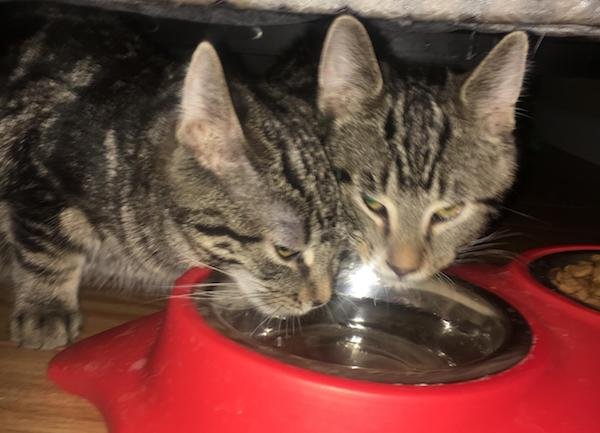 Coment and Vixen, rescue kittens for adoption