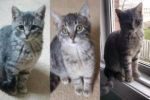 Trixie, Pixie And Lexie. Three Rescue Kittens Need New Homes
