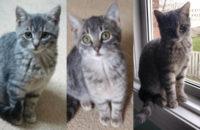 Three Rescue Kittens For Adoption