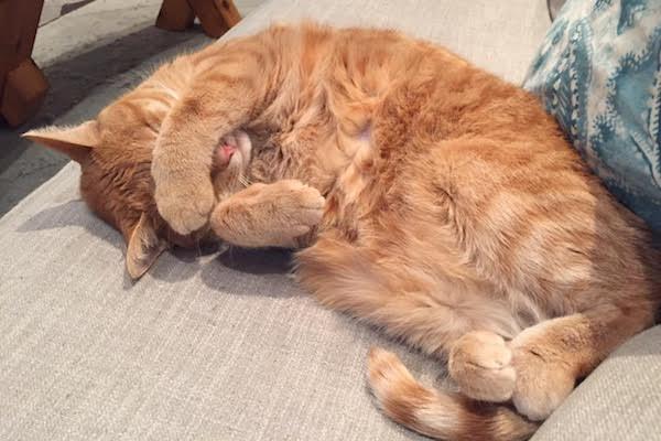 Aria. Cat for adoption. Toronto GTA Durham Region