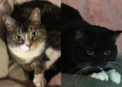 Lola And Mittens. Two Affectionate Cats Need New Home(s)