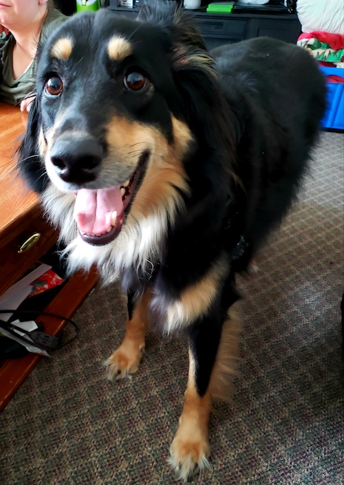 Lyla  Energetic, Female Border Collie Finds Perfect New Home | Oasis